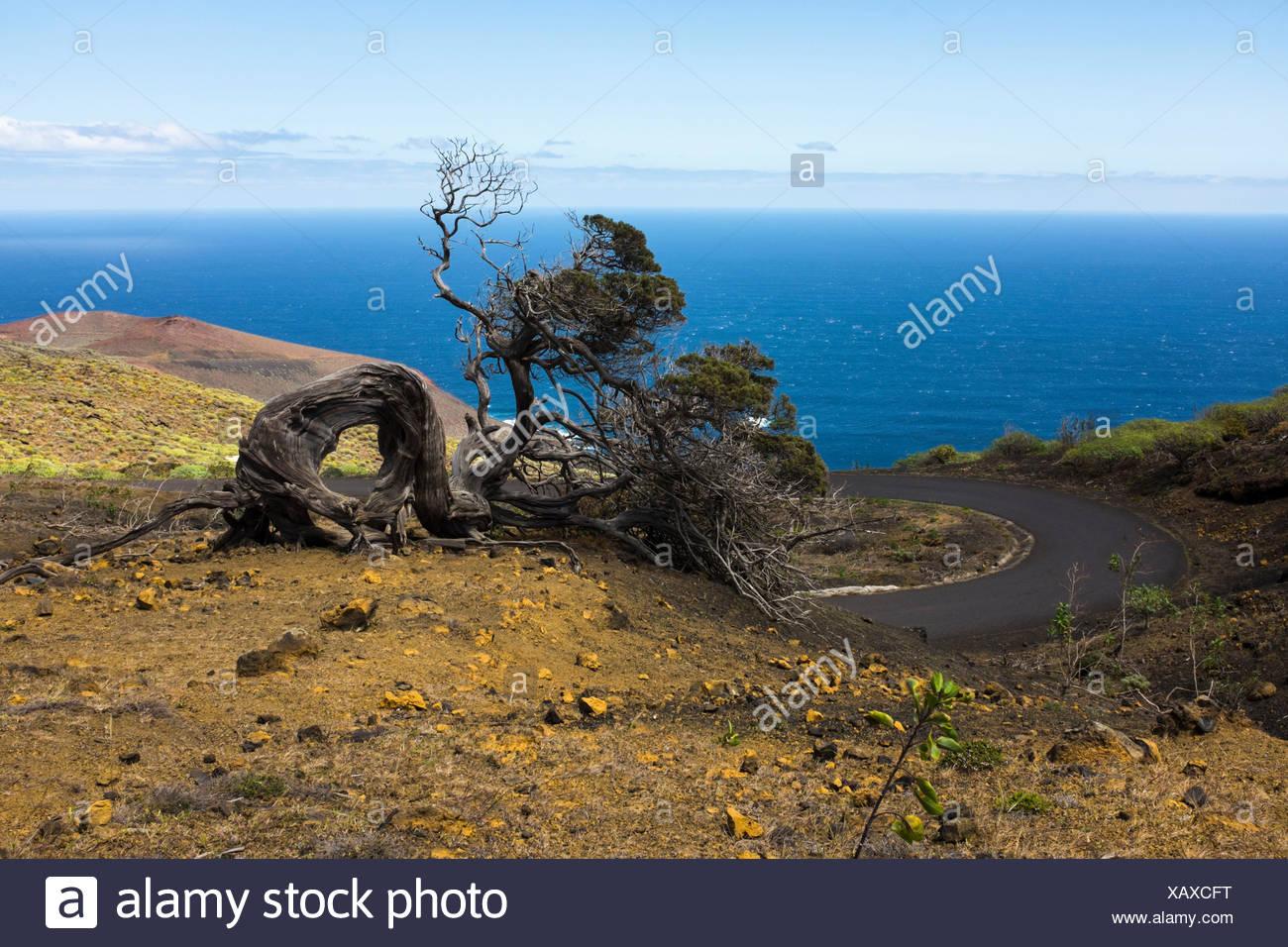 Spanien, Kanarische Inseln, El Hierro, windgebeugter Wacholderbaum bei El Sabinar Stock Photo