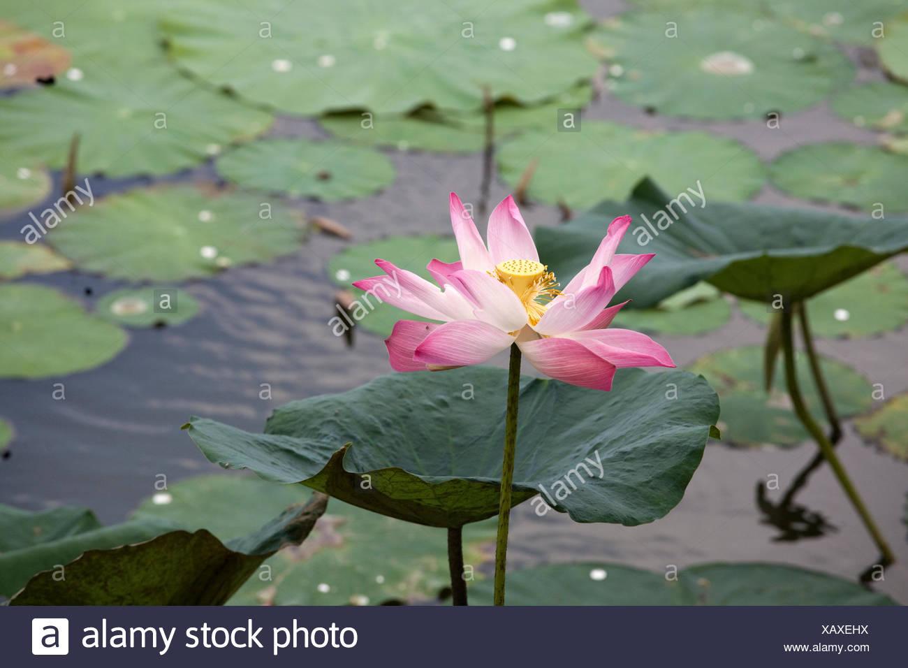Lotus flower pond asia stock photos lotus flower pond asia stock lotus flower nelumbo sp in a pond in a mekong delta izmirmasajfo