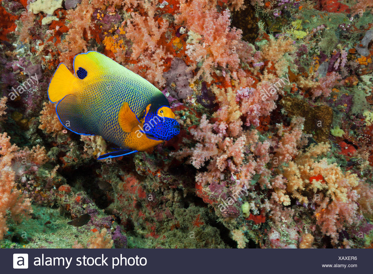 Yellowmask Angelfish, Pomacanthus xanthometopon, North Male Atoll, Maldives - Stock Image