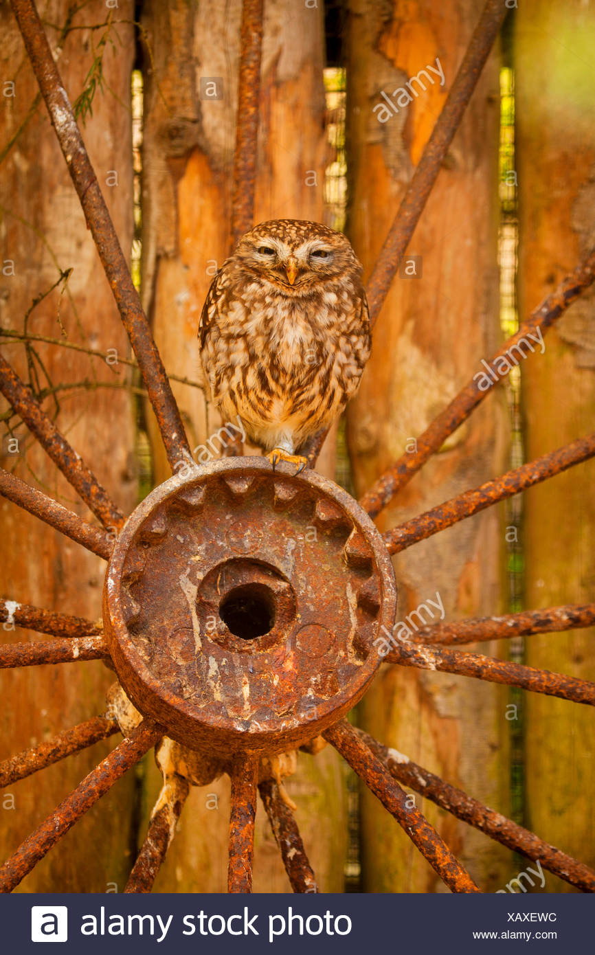 little owl (Athene noctua), sitting on a rusted wheel hub, front view - Stock Image