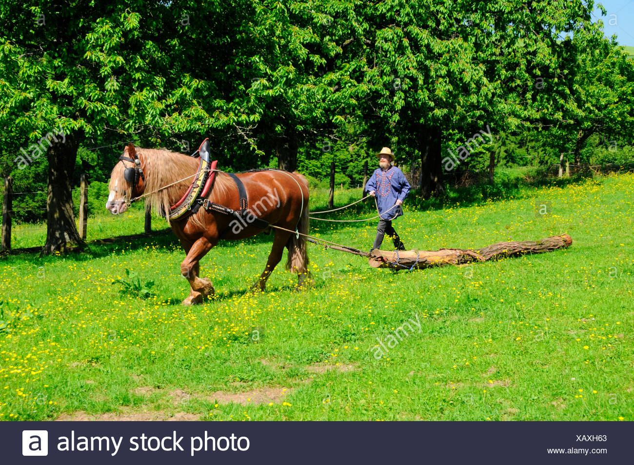 Black Forest Heavy Draught Draft Horse Draught Horse Pulling Tree Tradtitional Gear Stock Photo Alamy