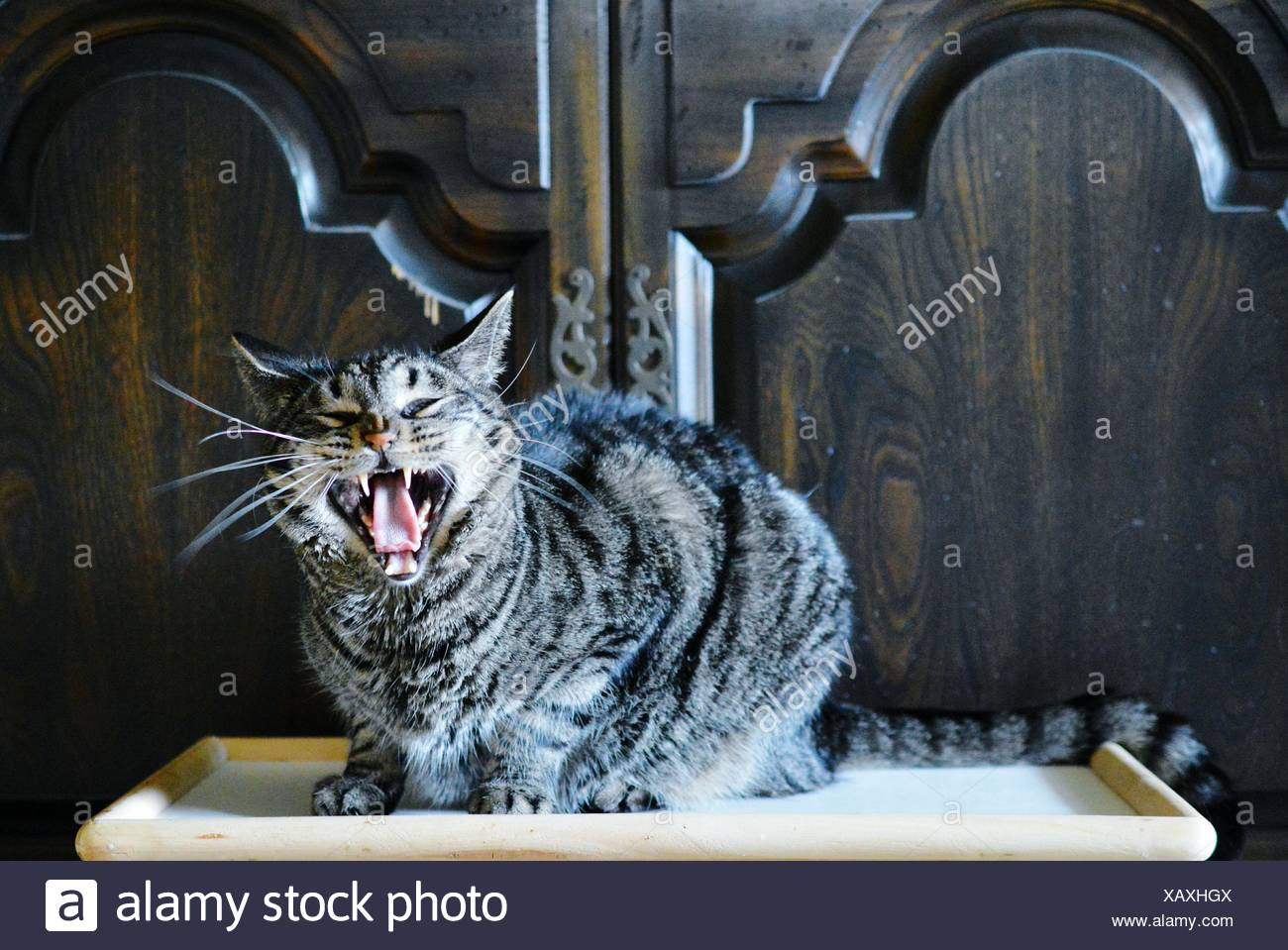 Portrait Of Angry Cat On Table At Home - Stock Image