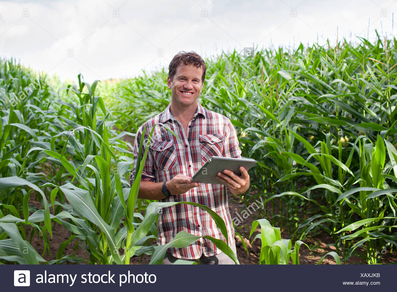 Farmer standing in field of crops using digital tablet - Stock Image