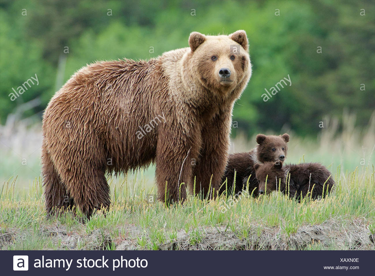 A mother watches closely as another bear approaches. - Stock Image
