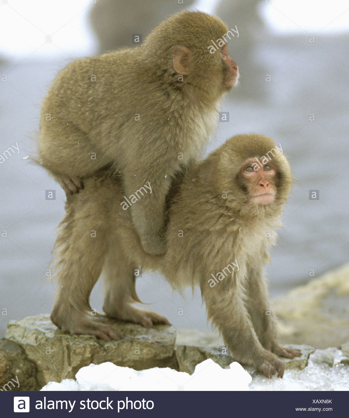 zoology / animals, mammal / mammalian, monekys, Japanmakak, (Macaca fuscata), cub playing, 'Joshin-Etsu Kogen National Park, distribution: Japan, Additional-Rights-Clearance-Info-Not-Available - Stock Image