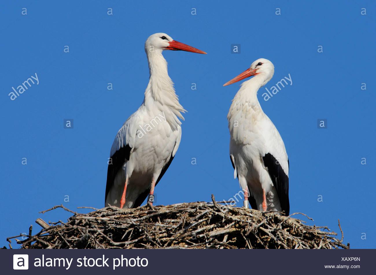 Pair of white storks (ciconia ciconia) Stock Photo