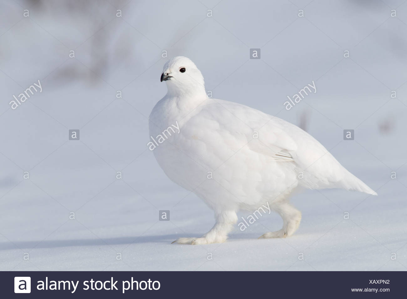 Willow Ptarmigan in white winter plumage walking on hard packed snow, Chugach Mountains, Southcentral Alaska, Winter - Stock Image
