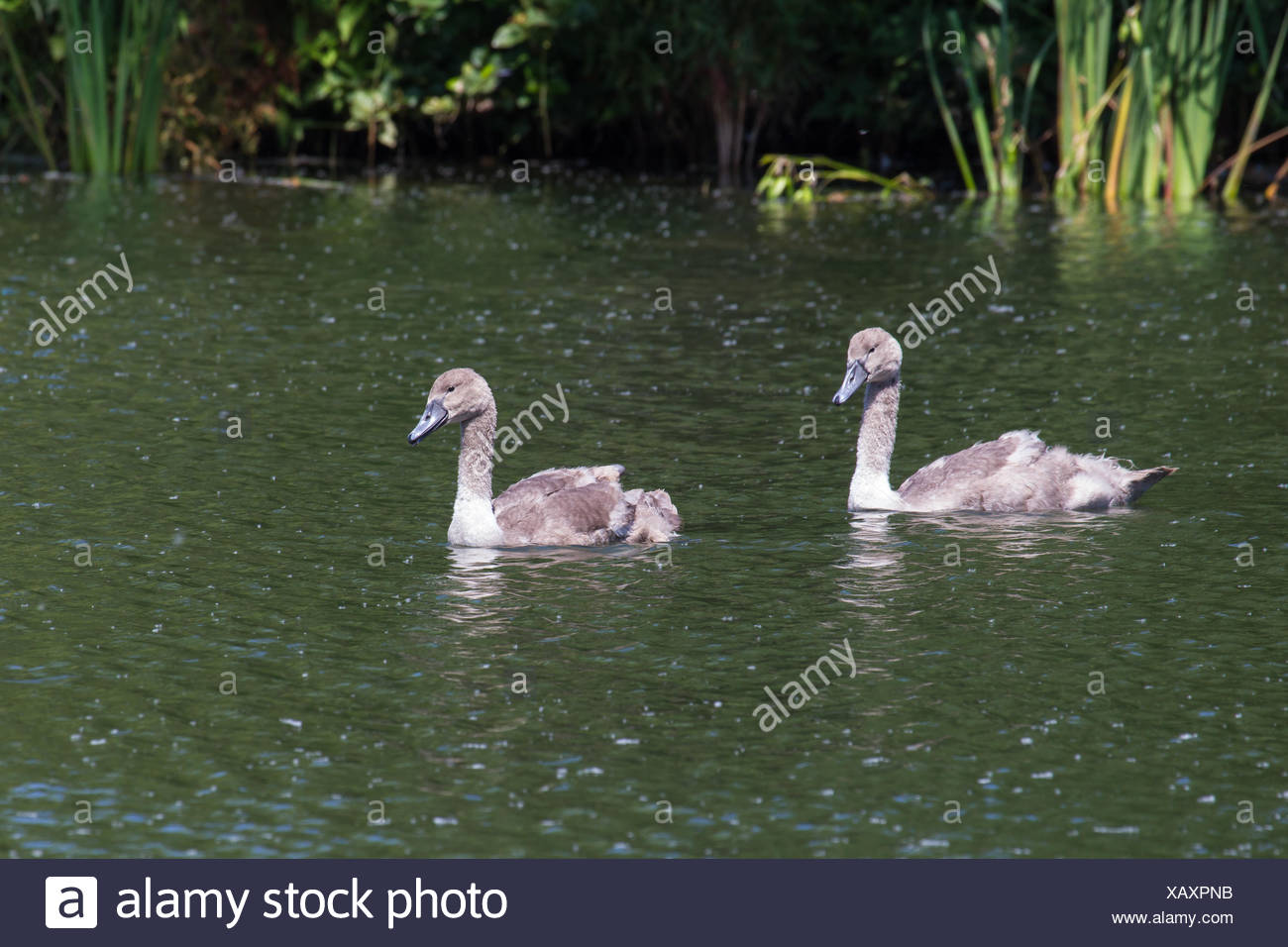 Young swans 3 Stock Photo
