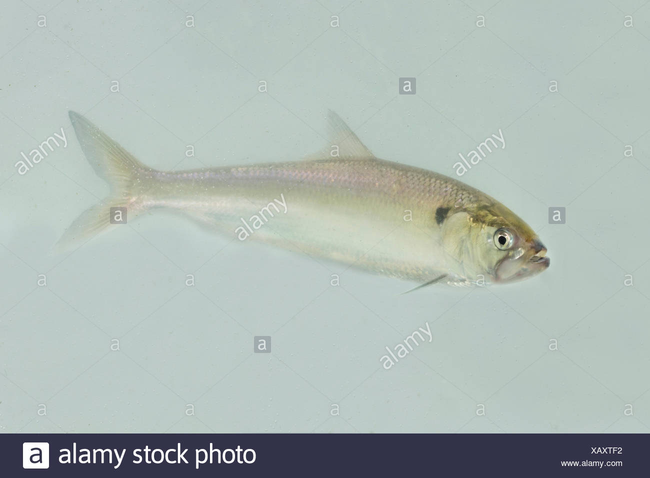 swimming adult twait shad - Stock Image