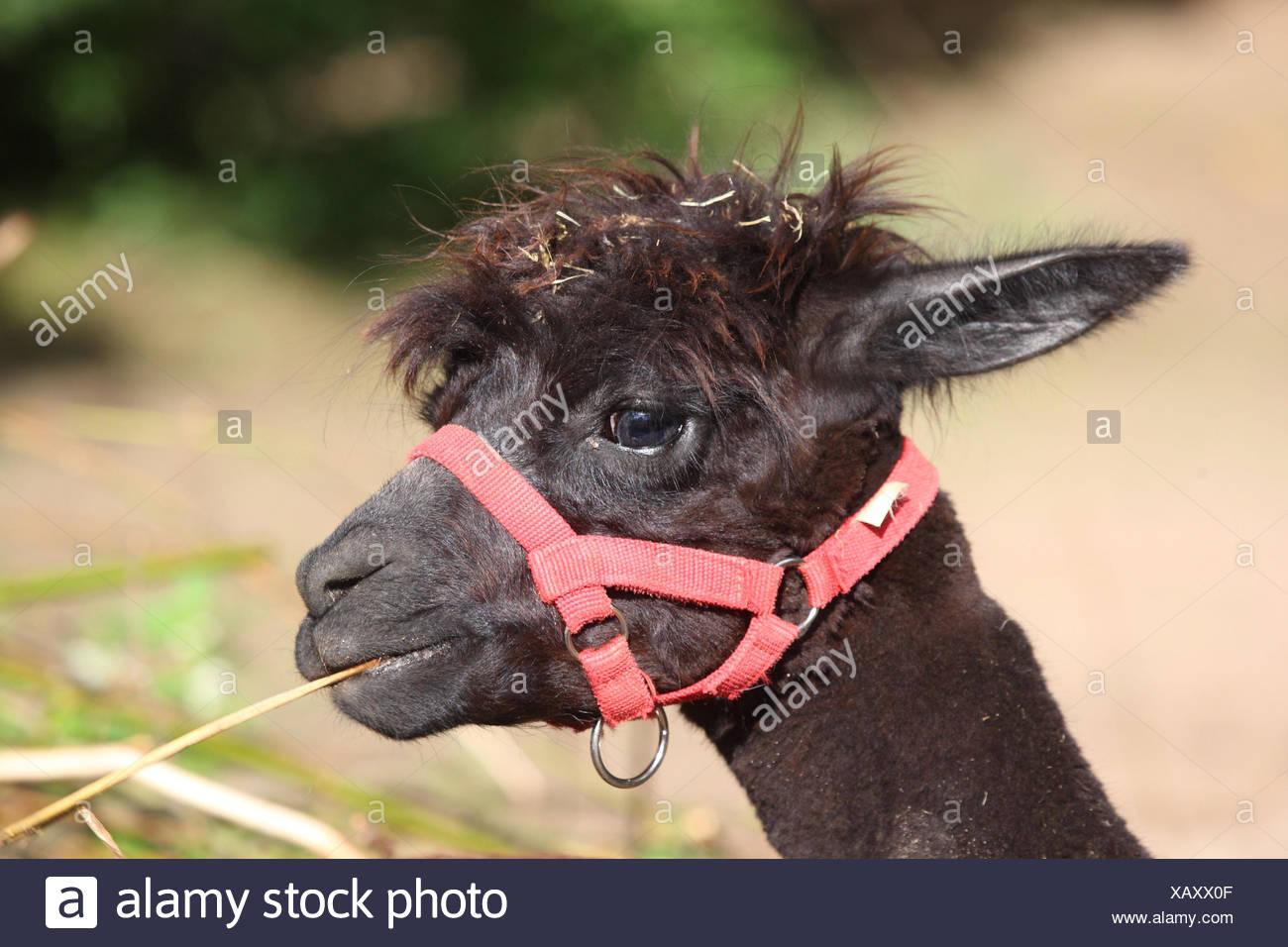 Alpaca, - Stock Image