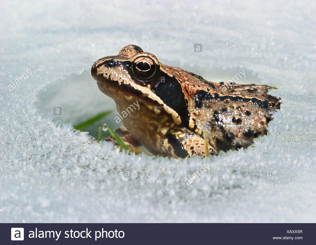 common frog, grass frog (Rana temporaria), sitting in snow, Germany, Bavaria, Erding - Stock Image