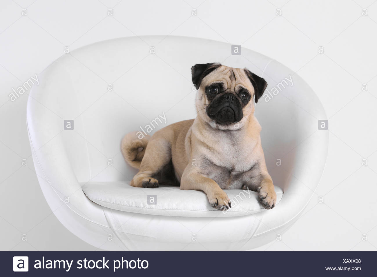 Isolated Domestic Animal Pet Domestic Animals Pets Dog Dogs Pugs Fatties Mops Pugs Fatties Portrait Armchair Seat Stock Photo Alamy