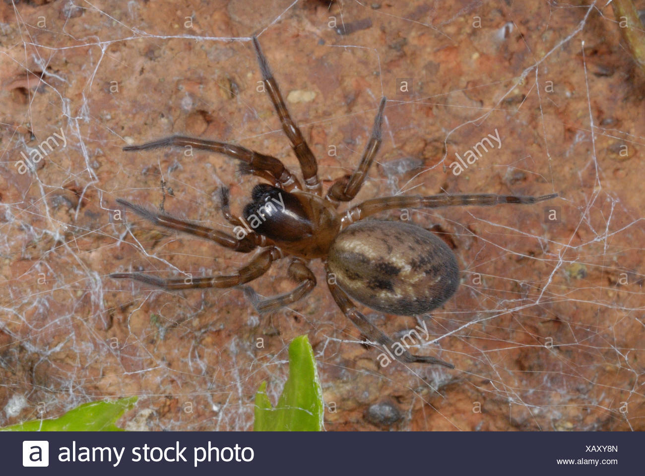 Garden Lace-webbed Spider (Amaurobius similis) adult female, in web on brick wall, in garden, Gorseinon, West Glamorgan, South - Stock Image