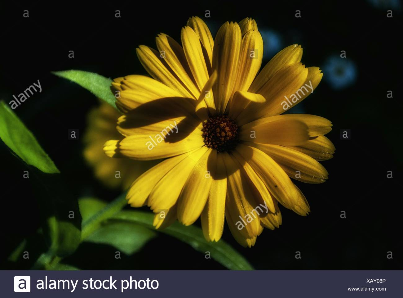 Close Up Of Yellow Flower Blooming Outdoors At Night Stock Photo