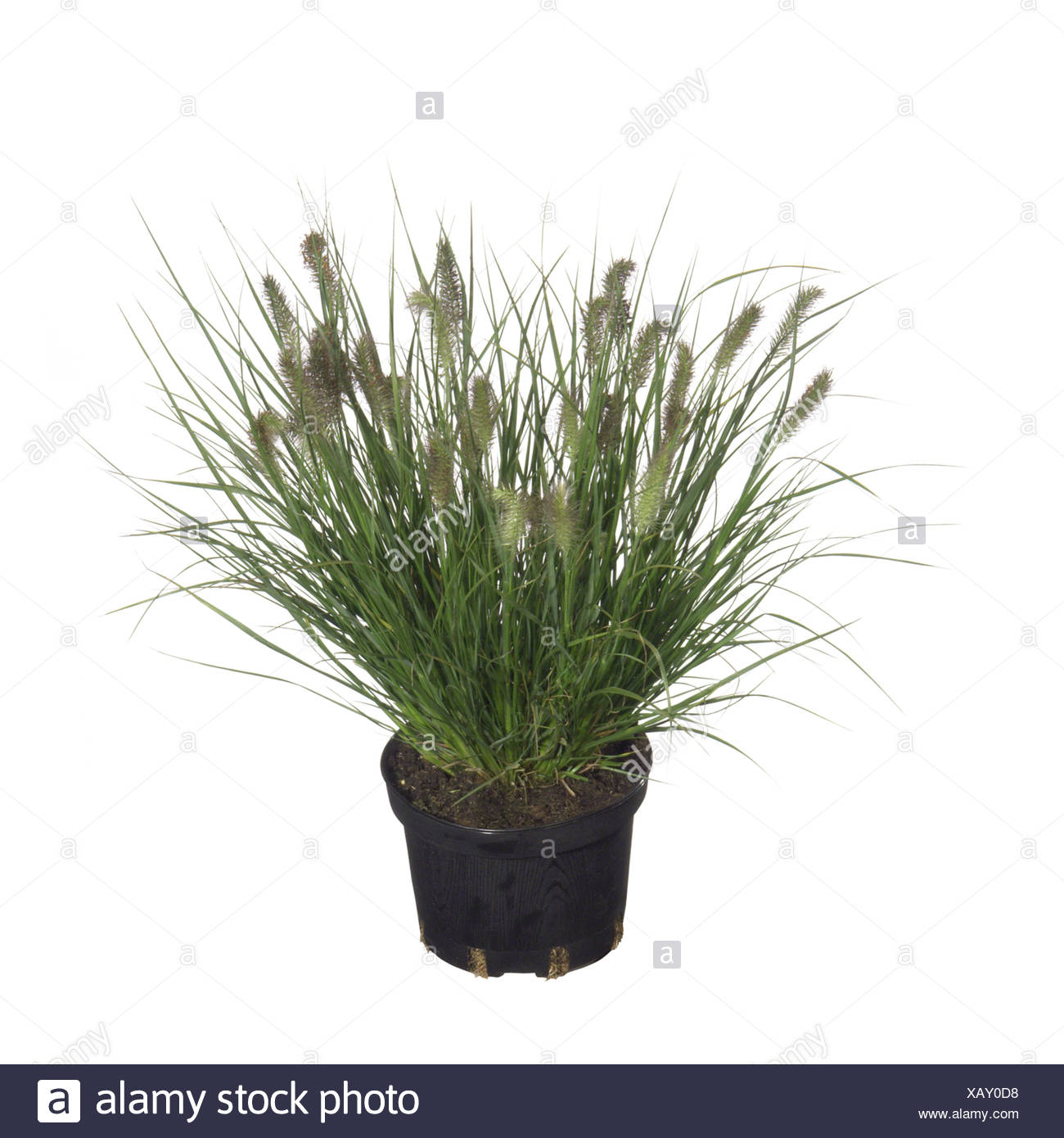 fountain grass (Pennisetum alopecuroides), potted plant - Stock Image