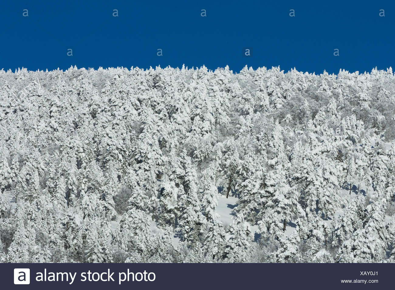 Snowy conifer forest in the Mont Ventoux - Vaucluse - France - Stock Image