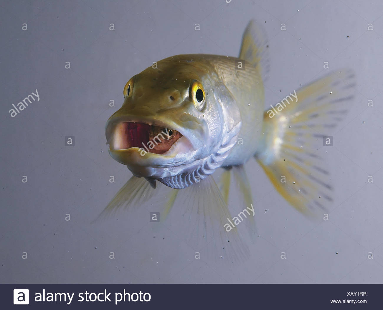 CAPTIVE: Northern Pike swallows Rainbow Trout, Department of Fish & Game aquarium in Anchorage, Southcentral Alaska Stock Photo