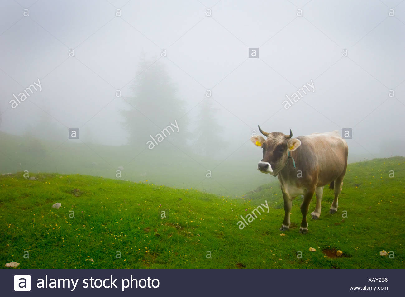 A Cow In A Pasture In The Fog; Veneto Italy - Stock Image