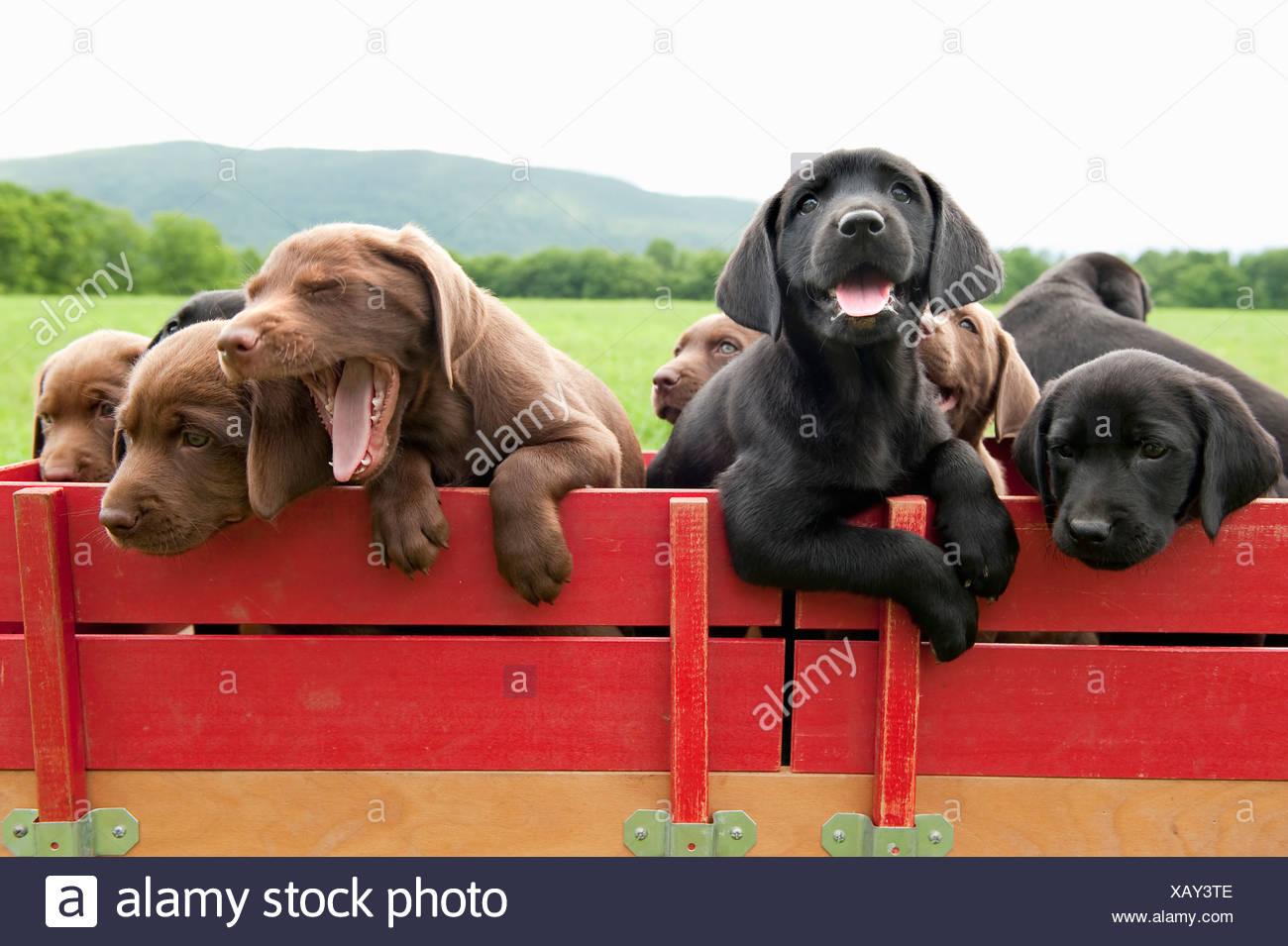Labrador retriever puppies in a wagon - Stock Image