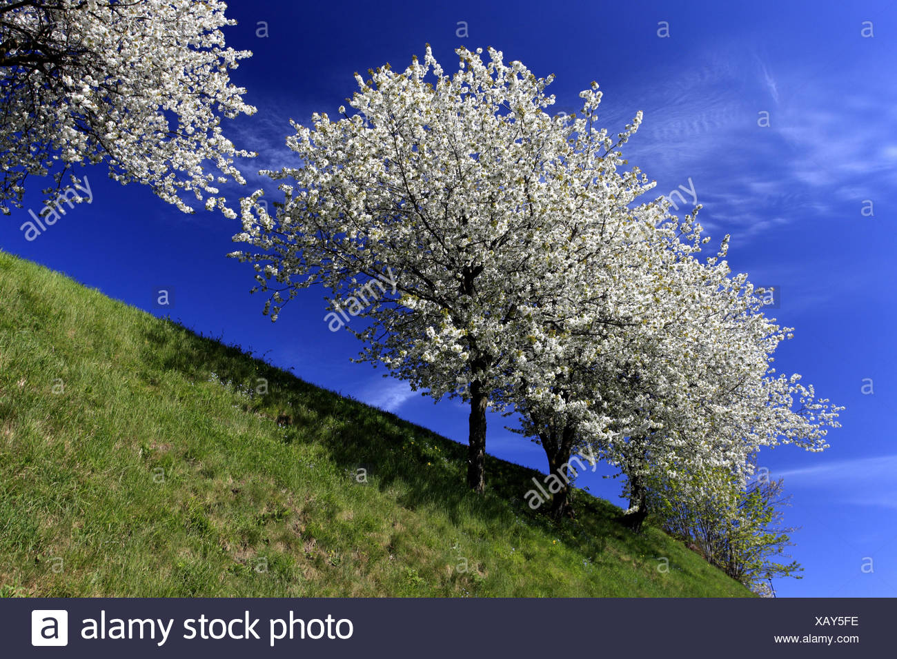 Italy, South Tirol, Hafling, fruit-tree, fruit blossom, - Stock Image