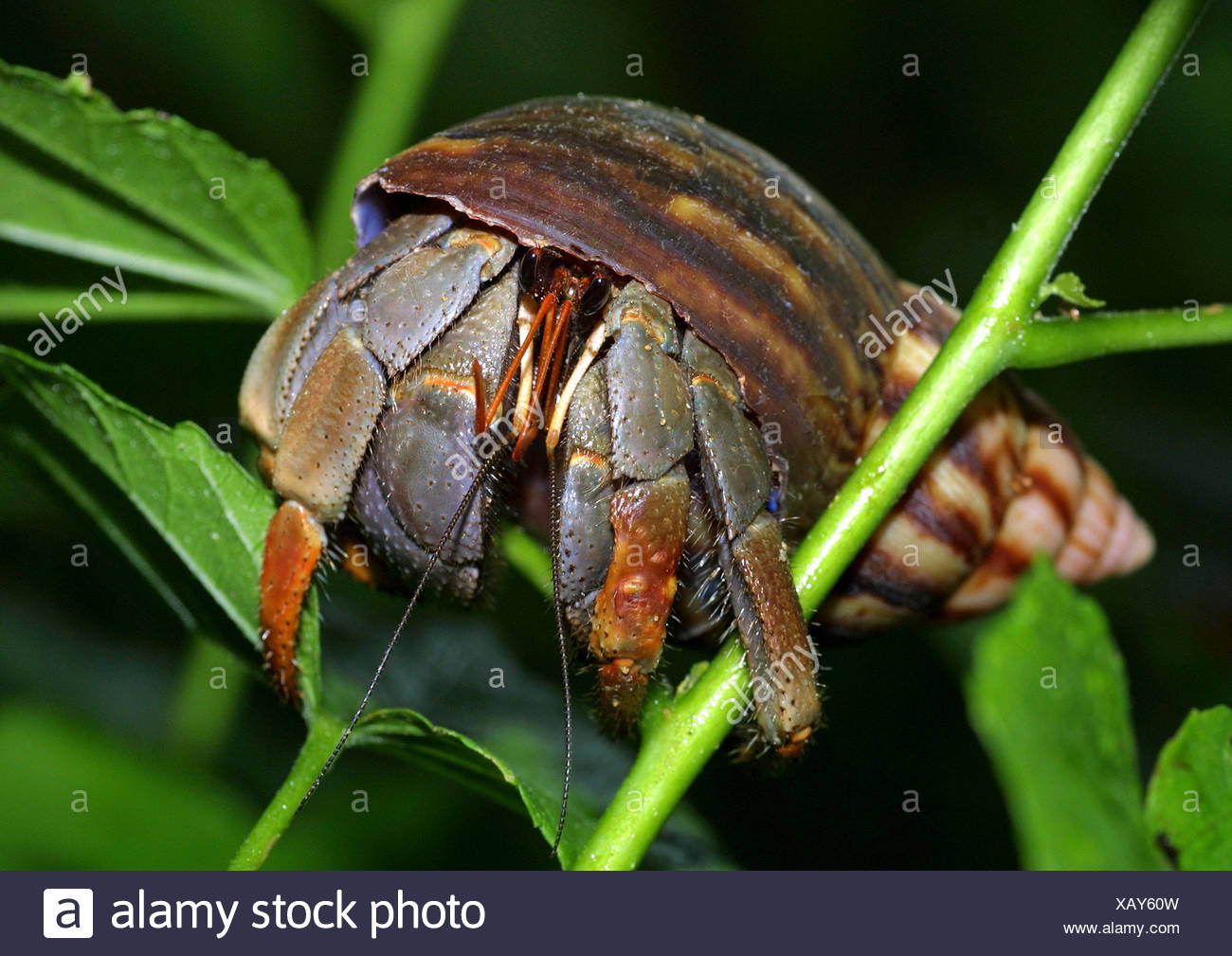large hermit crab, common hermit crab, soldier crab, soldier hermit crab, Bernhard's hermit crab (Pagurus bernhardus, Eupagurus bernhardus), on a plant - Stock Image
