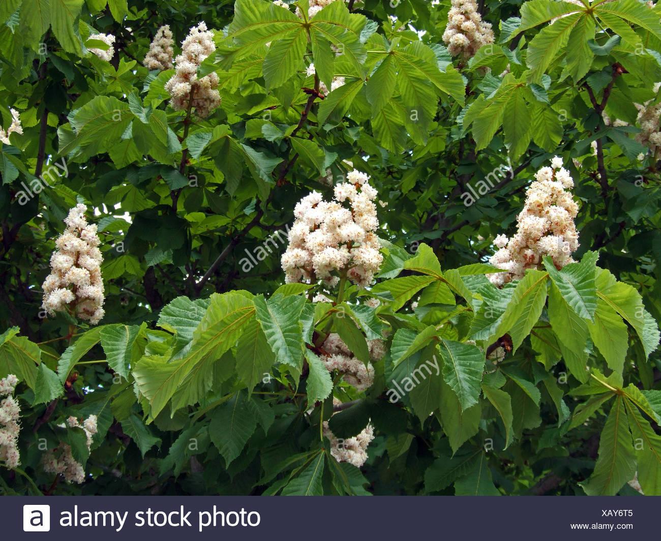 white chestnut ( Aesculus hippocastanum) - Stock Image