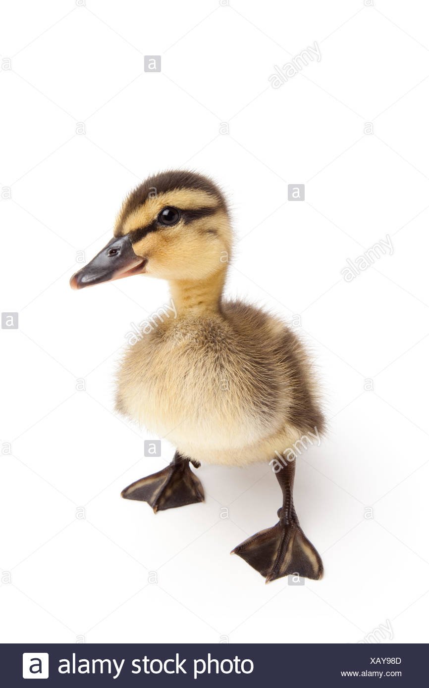 animal bird duck - Stock Image