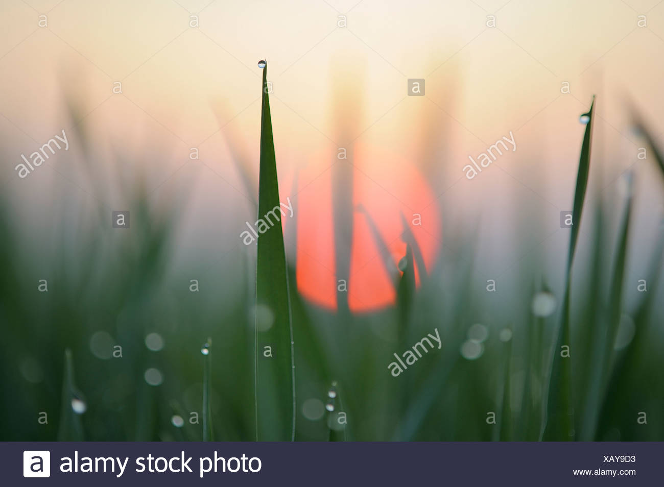 Germany, Bavaria, Sunrise, Dewdrops on corn leaves, close-up - Stock Image