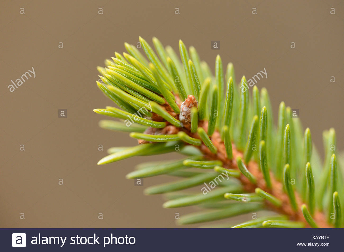 Branch from a Norway Spruce (Picea abies), close-up - Stock Image