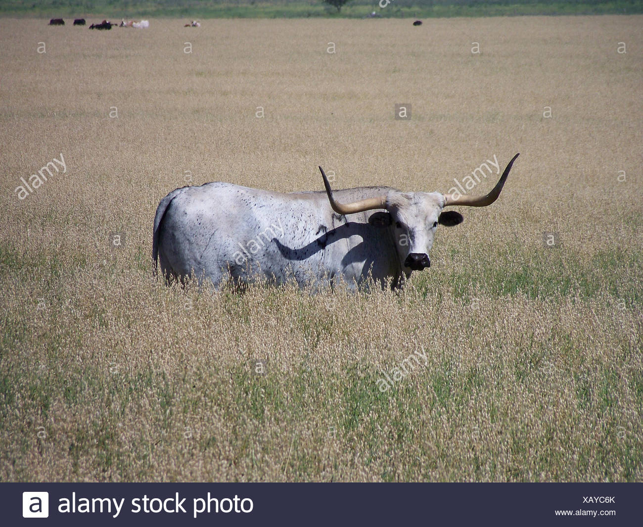 USA, Texas, Dimmit County, Texas Longhorn - Stock Image