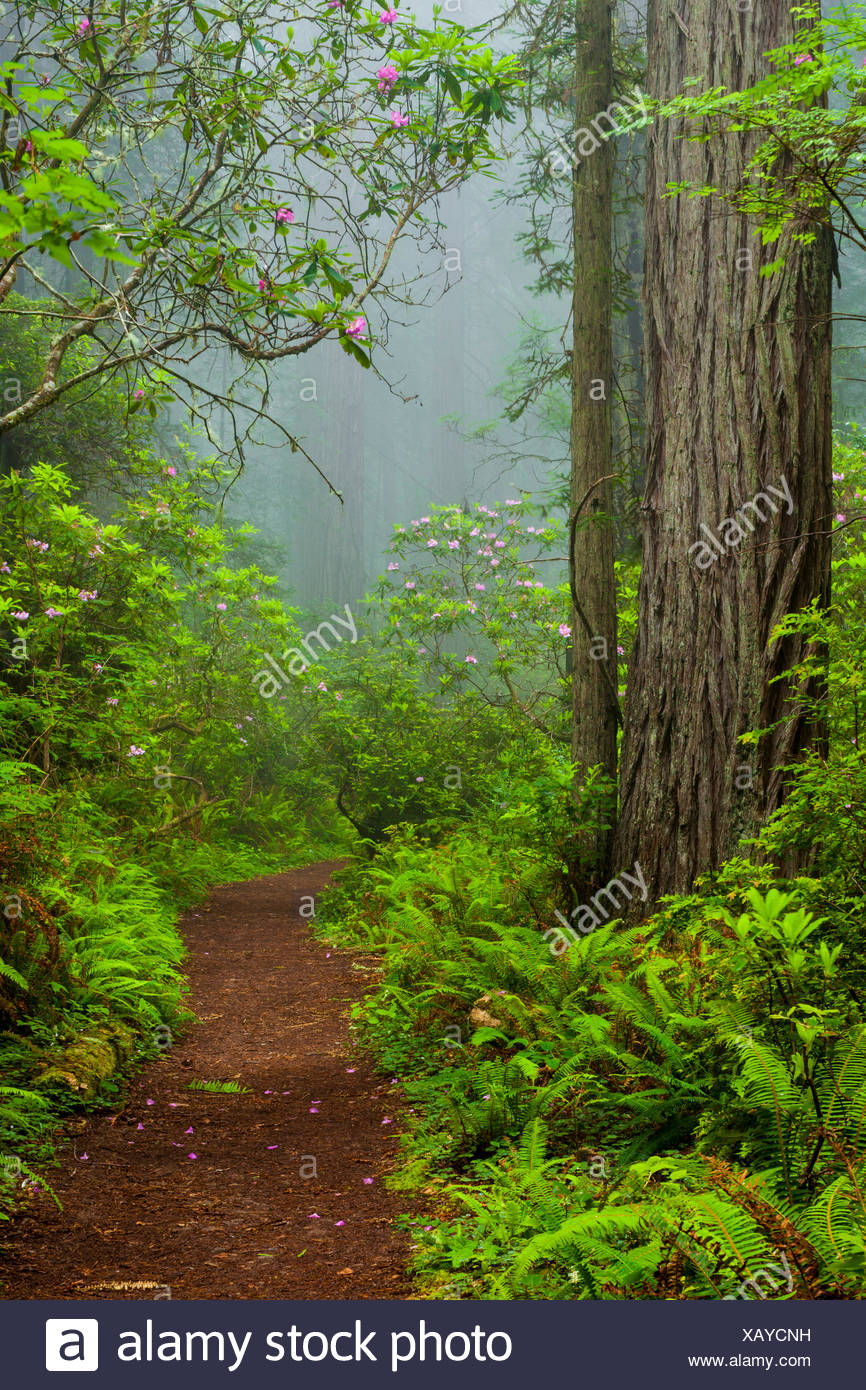 Redwoods and rhododendrons along the Damnation Creek Trail in Del Norte Coast Redwoods State Park California USA  California USA - Stock Image