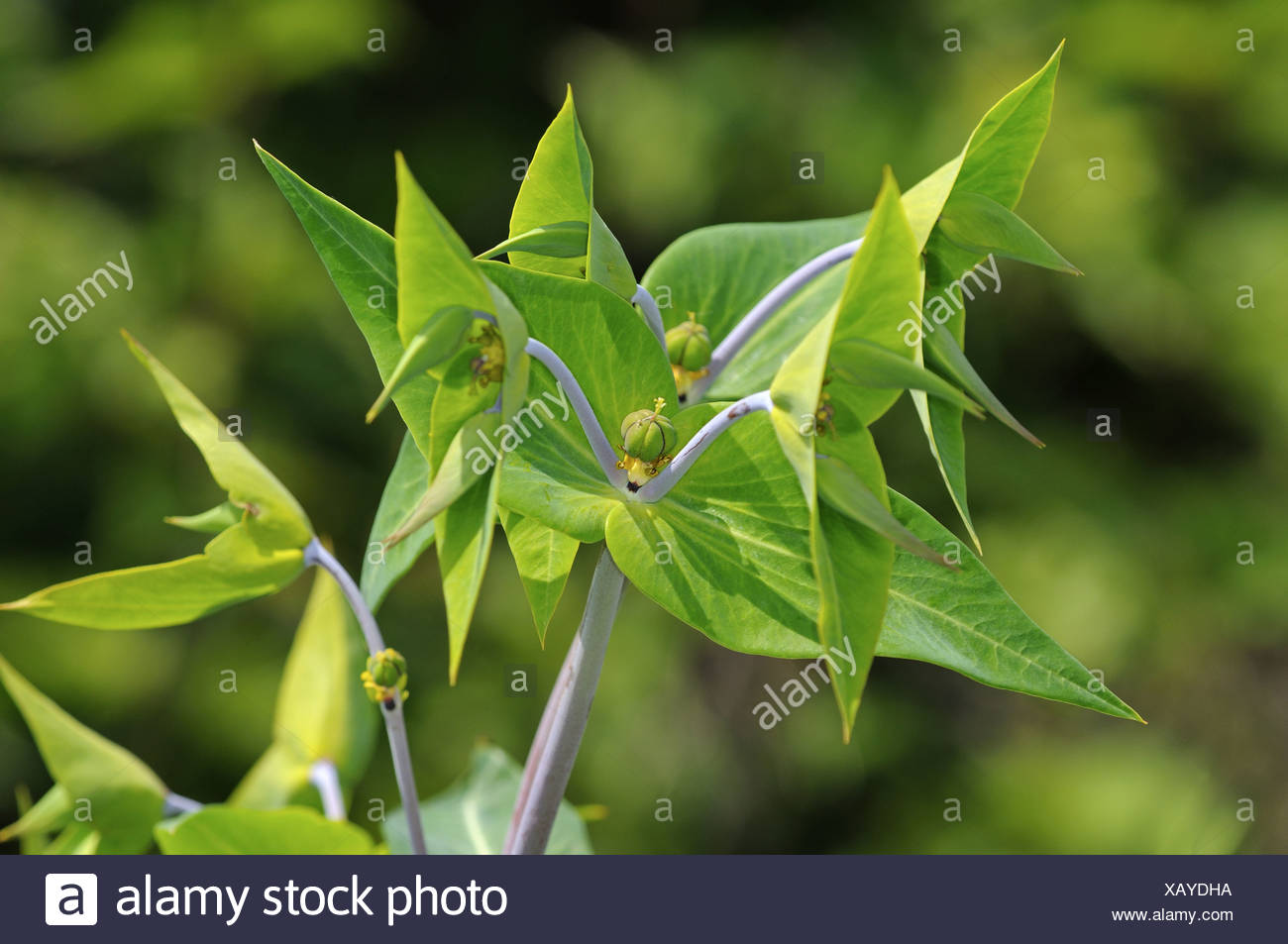Caper spurge, Euphorbia lathyris - Stock Image