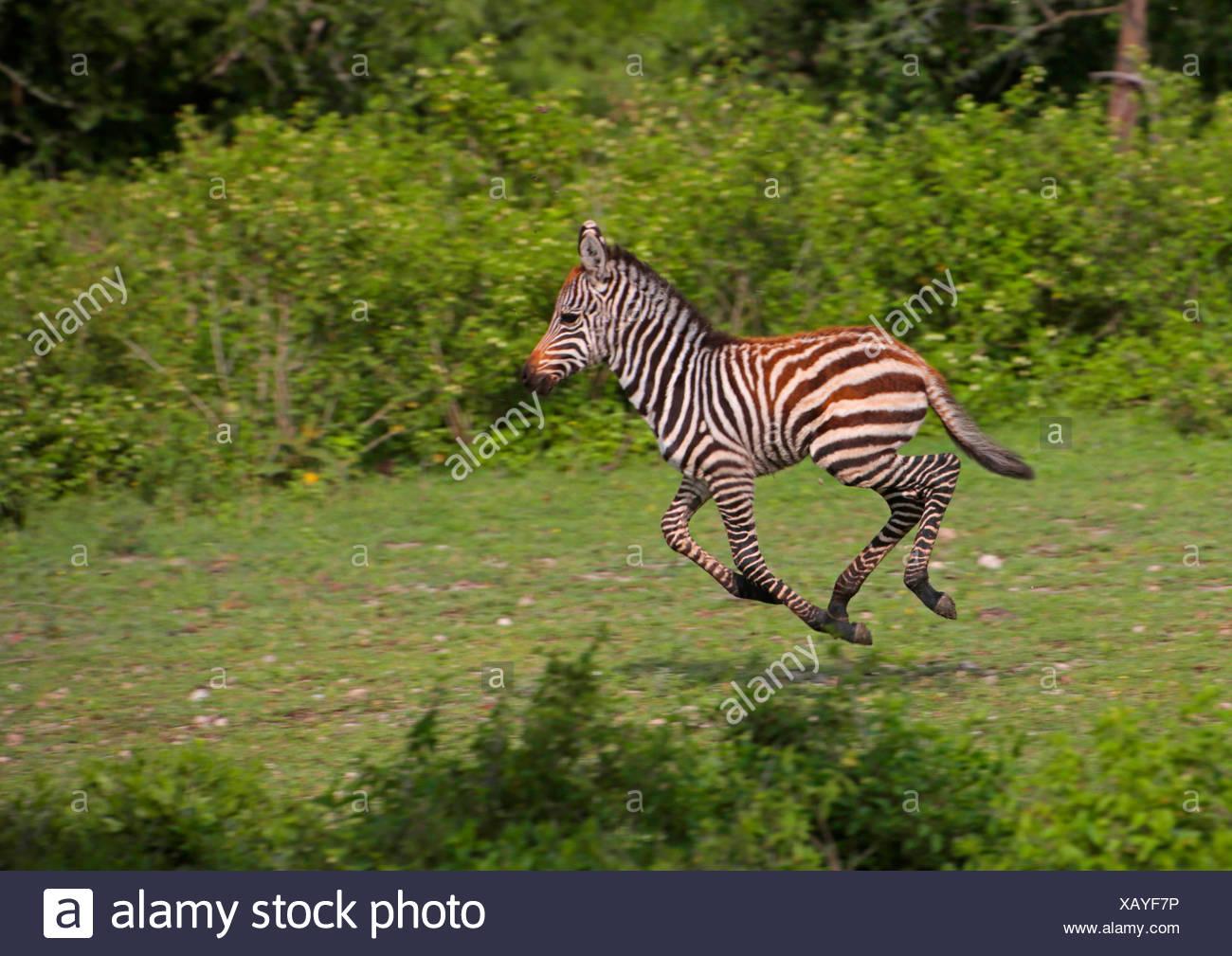 Common Zebra (Equus quagga), foal in the course in a meadow, Tanzania, Serengeti National Park - Stock Image