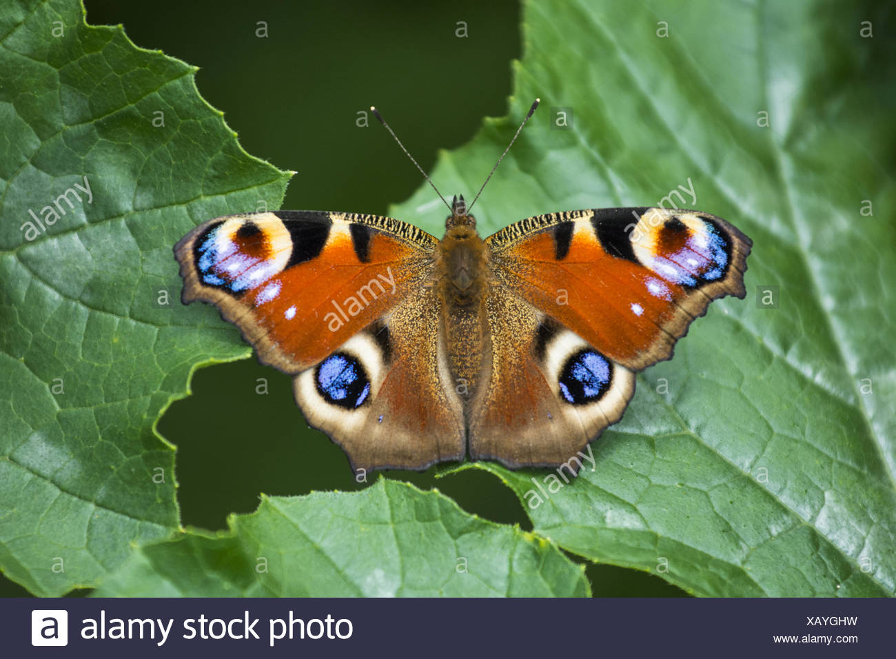 Butterfly, Peacock - Stock Image
