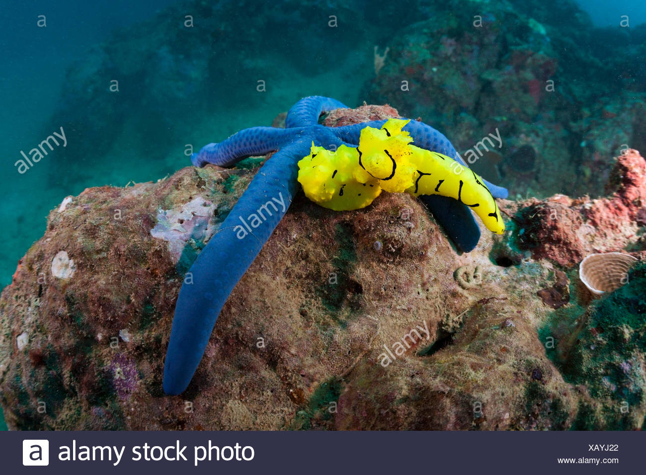 Yellow variable neon slug on starfish, Notodoris minor, Florida Islands, the Solomon Islands - Stock Image