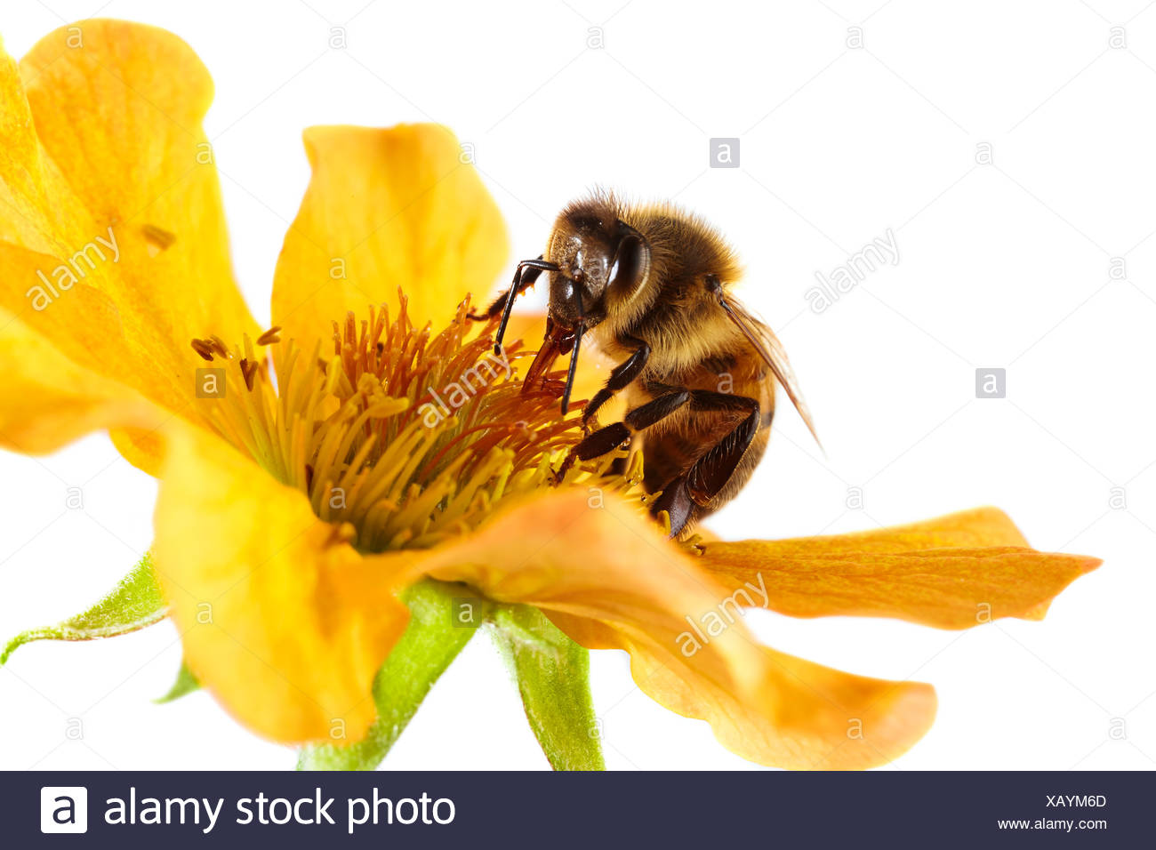 Honey bee on a flower Stock Photo