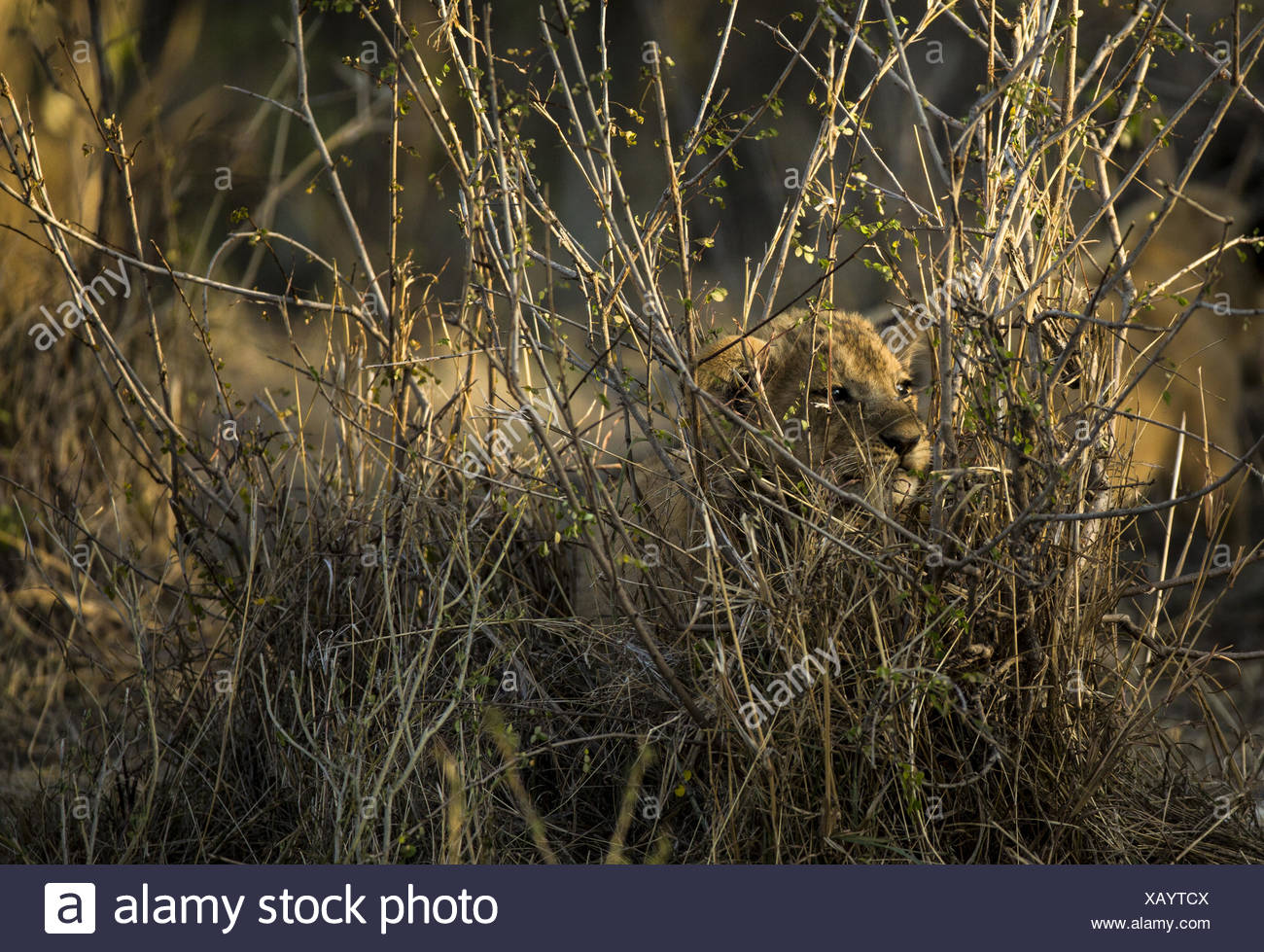 A lion, Panthera leo, cub hides in the long grass. - Stock Image