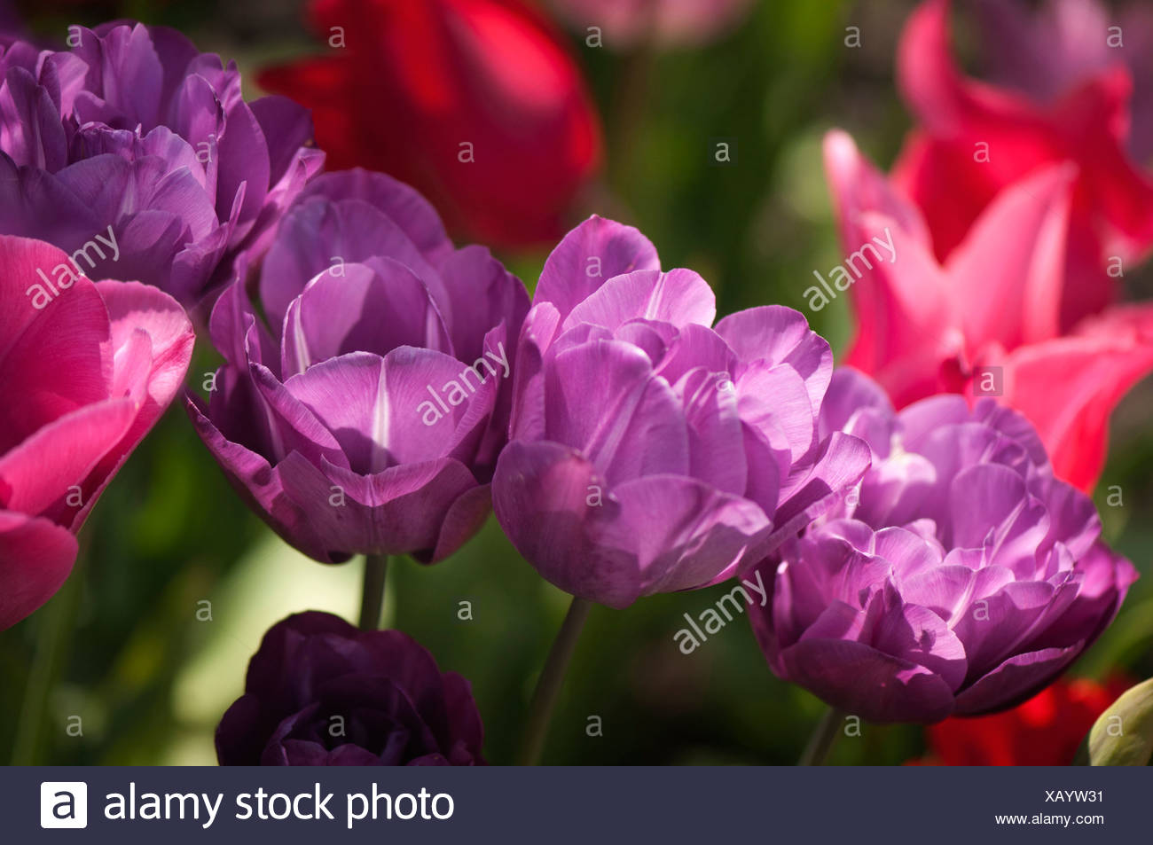 Tulipa 'Blue spectacle', Tulip, Purple. - Stock Image