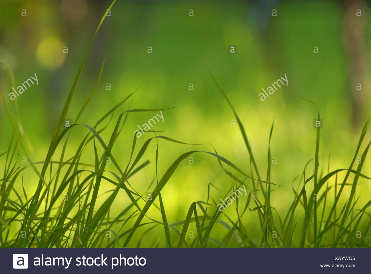 Close-up of blades of grass - Stock Image