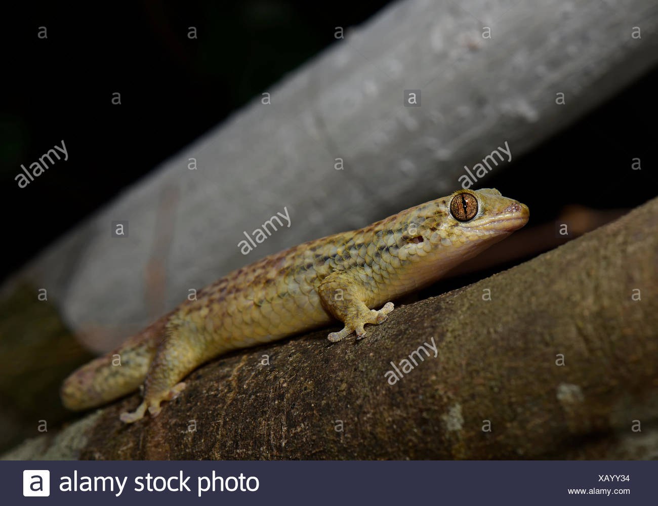 Fish scale gecko (Geckolepis maculata), dry forests of Kirindy, West Madagascar, Madakascar - Stock Image