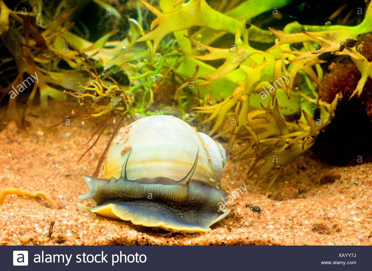 Northern Moon Snail, (Lunatia heros) Stock Photo