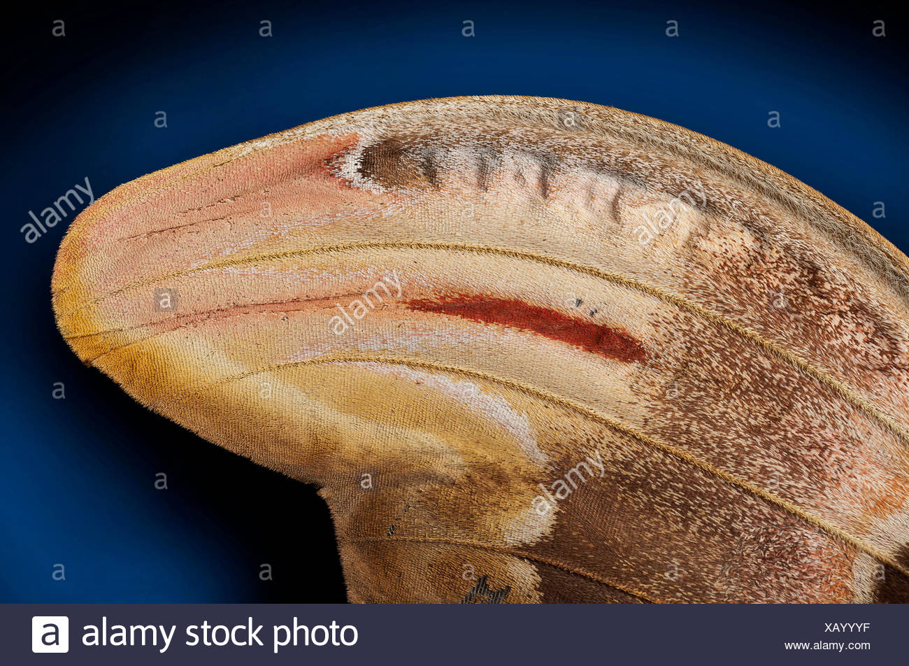Attacus atlas, detail of the right wing - Stock Image