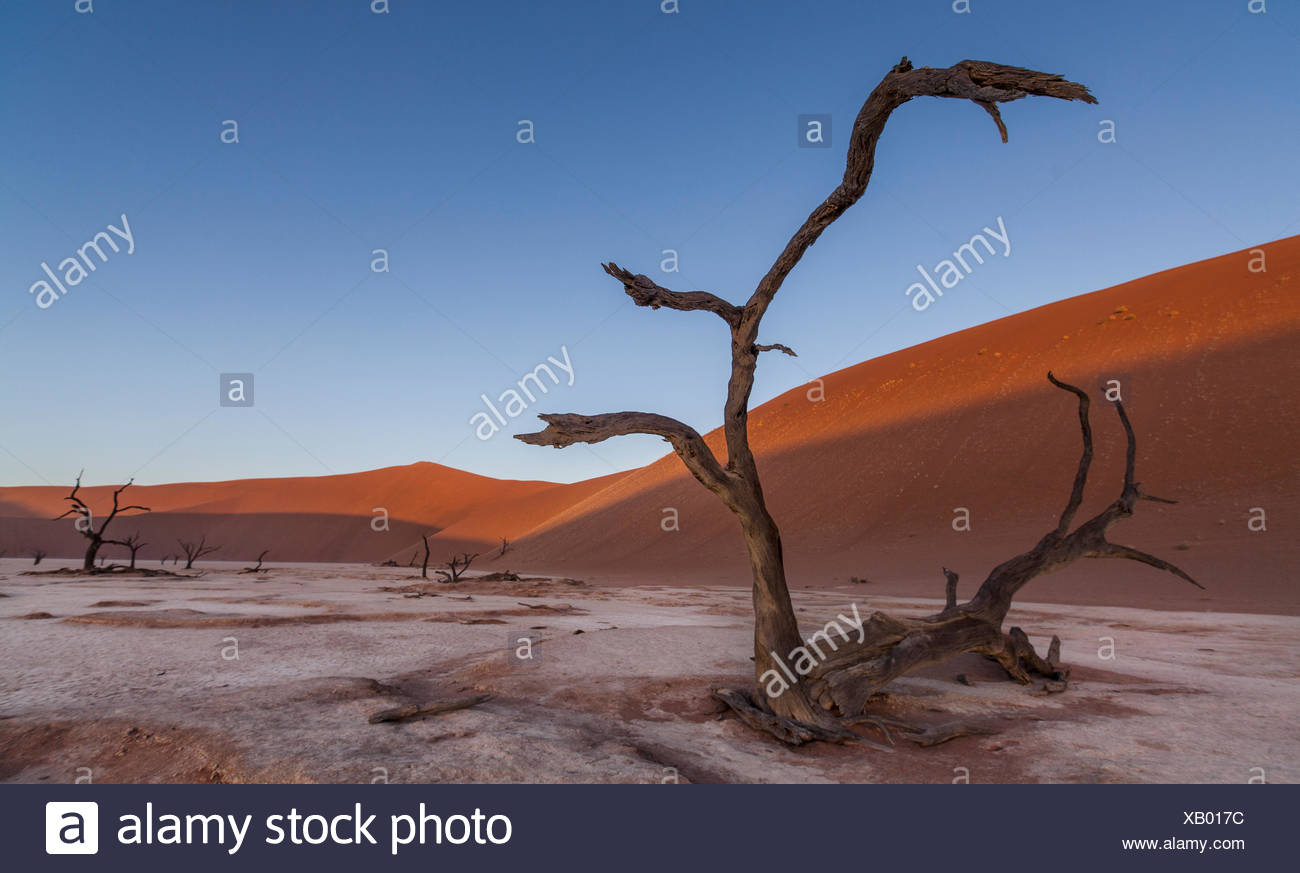 A warped camel thorn acacia tree, Vachellia erioloba, stands amid the sand dunes of Dead vlei, - Stock Image