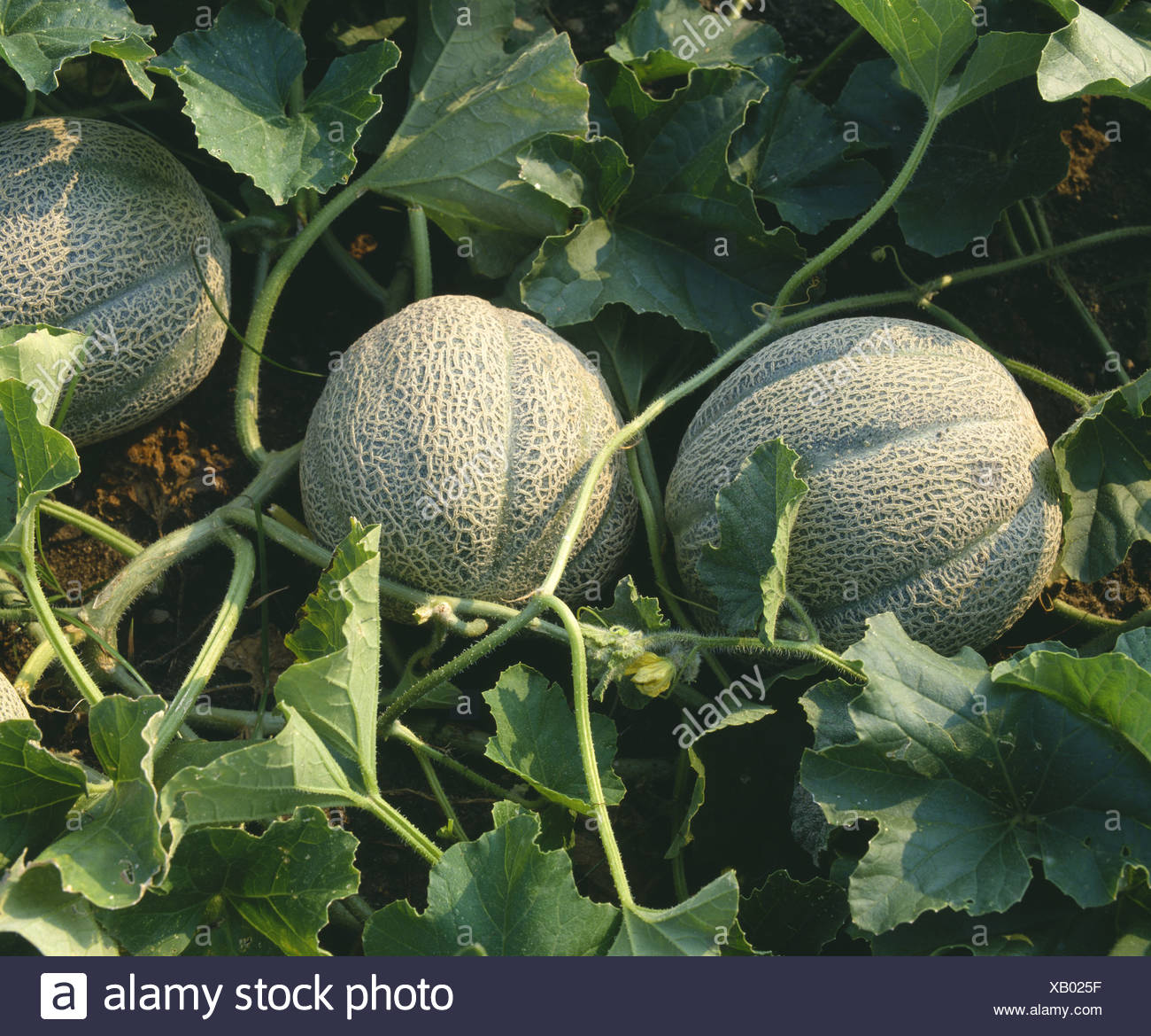 Growing melons in the open field: the choice of varieties, planting and care 71