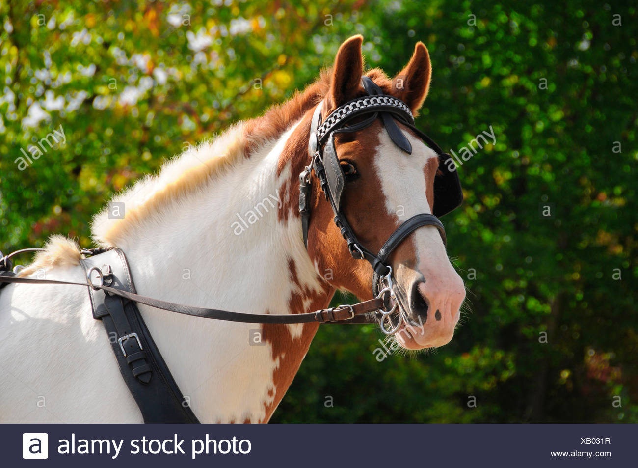 Horse Driving   Single Horse  Breastcollar Harness  Harness