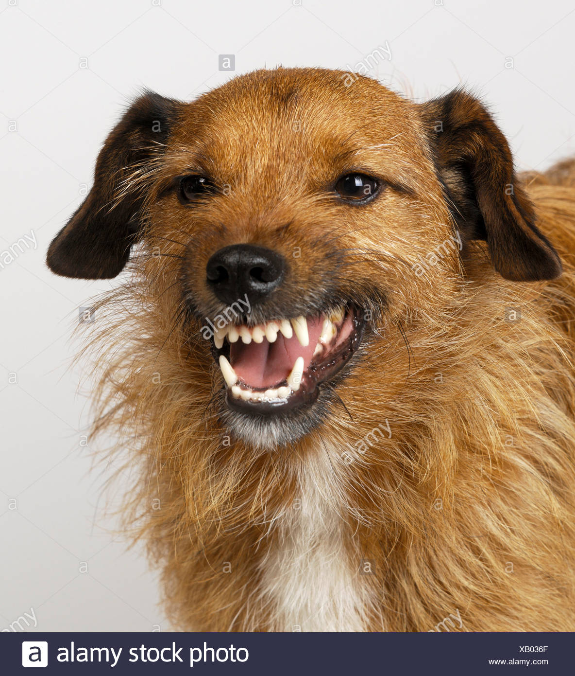 Mongrel snarling - Stock Image