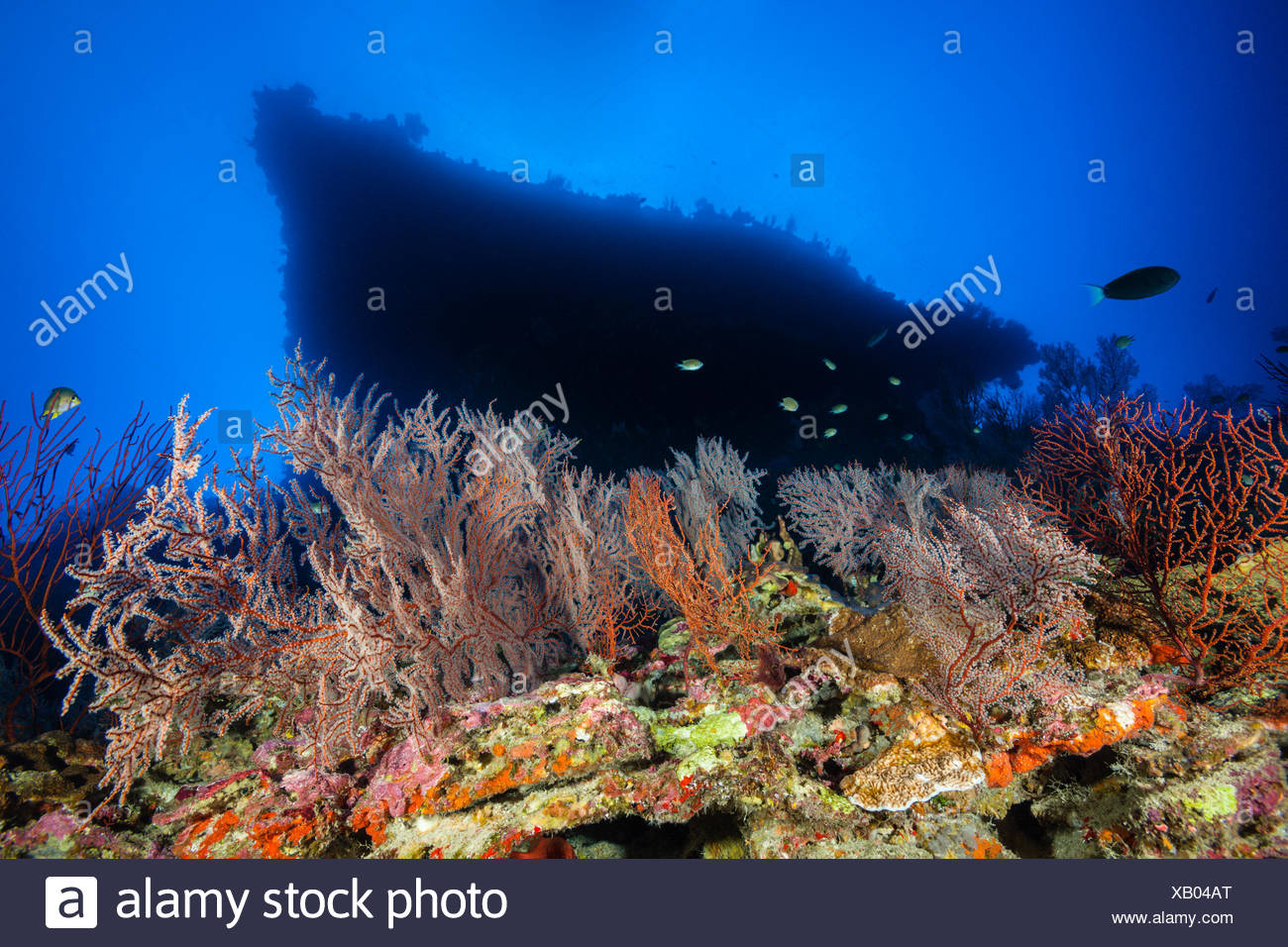 Coral Reef of Sea Fan, Gorgonaria, Christmas Island, Australia Stock Photo