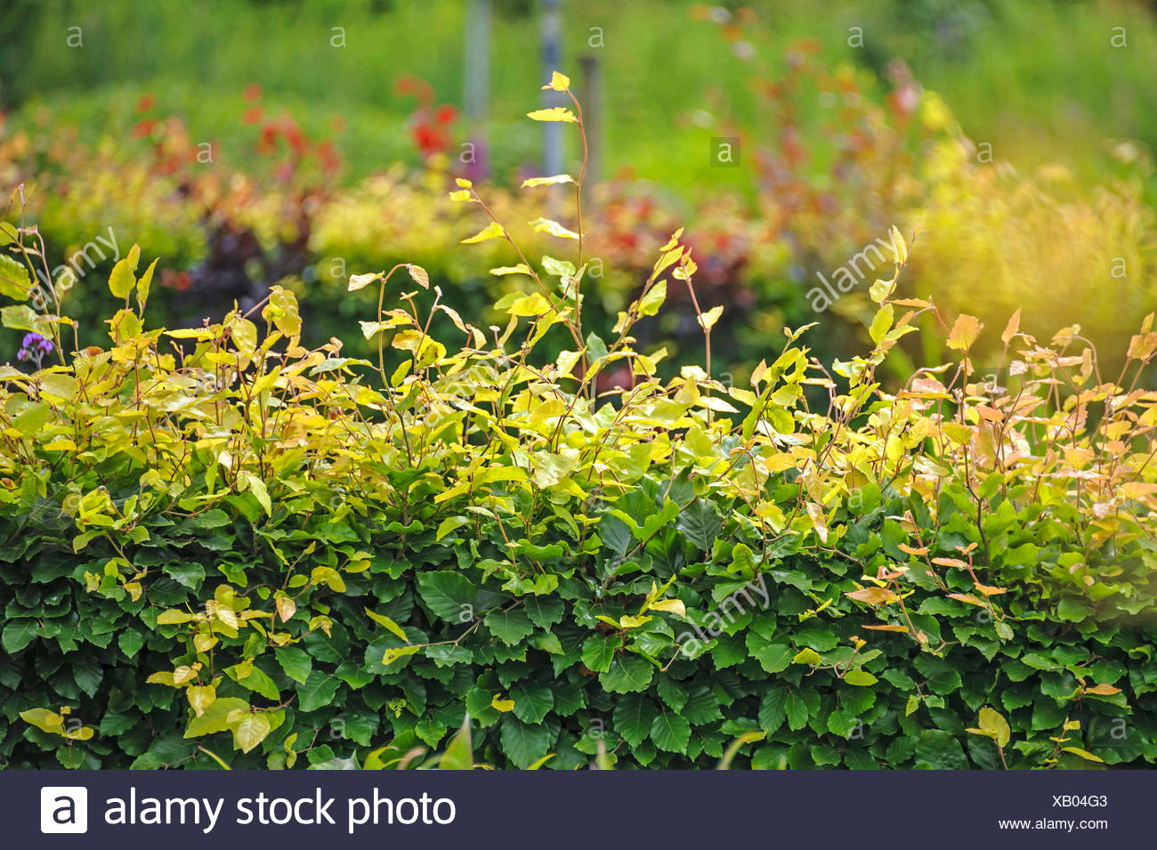 common beech (Fagus sylvatica), beech hedge, Netherlands - Stock Image