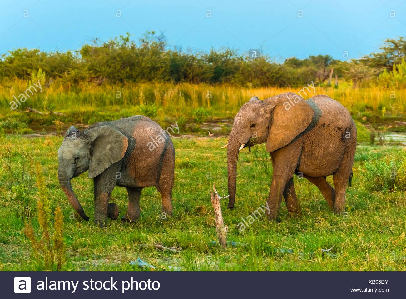 Baby elephants, Kwando Concession, Linyanti Marshes, Botswana. Stock Photo