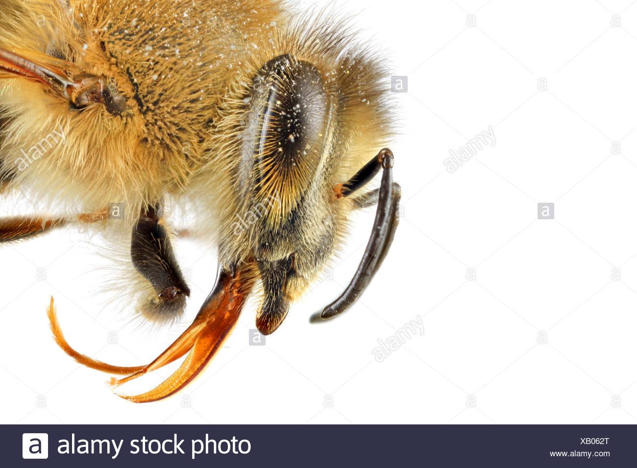 honey bee, hive bee (Apis mellifera mellifera), macro shot of the head, lateral view - Stock Image
